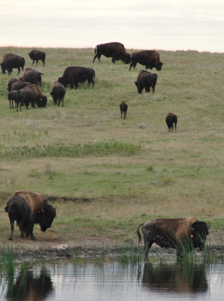 Buffalo drinking from pond close to the proposed Dakota Access Pipeline